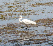 Little egret wading in shallow water Stock Images