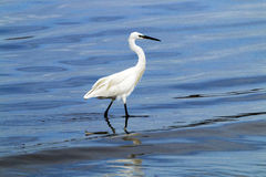 Little Egret Wading in Shallow Waters of Durban Harbor. White little egret wading in blue rippled shallow waters of harbor in Durban, South Africa royalty free stock photos