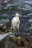 Little egret waiting for pickings Royalty Free Stock Image