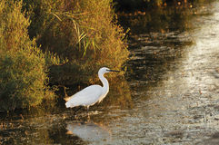 Little egret walking in shallow water Royalty Free Stock Photos