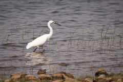 Little egret walking through shallows in lake Stock Photos
