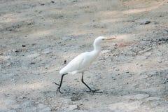 Little egret Royalty Free Stock Photo
