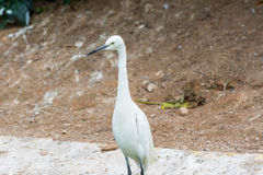 A little egret white bird Egretta garzetta Stock Photography