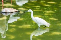A little egret white bird Egretta garzetta walking in a green lake Stock Images
