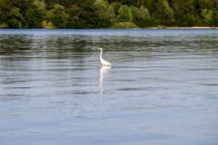Little egret or white heron Egretta garzetta Royalty Free Stock Image
