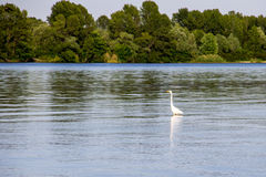 Little egret or white heron Egretta garzetta Royalty Free Stock Images