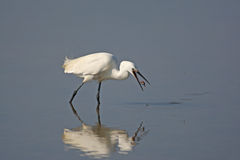 Little egret and worm Royalty Free Stock Photo