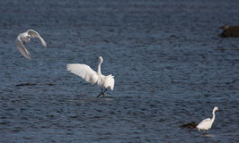 Little Egrets Royalty Free Stock Photos