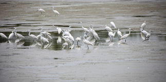 Little Egrets Stock Photo