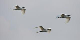 Little Egrets Royalty Free Stock Photo