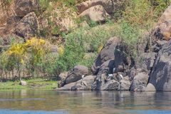 Little egrets on the banks of the Nile stock photography