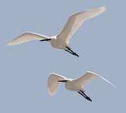 Little Egrets Royalty Free Stock Photo