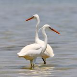 Little egrets (egretta garzetta) Stock Photography