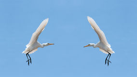 Little Egrets (Egretta Garzetta) in the sky Stock Image
