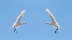 Little Egrets (Egretta Garzetta) in the sky Stock Image
