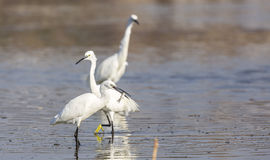 Little Egrets and Fish Royalty Free Stock Photos