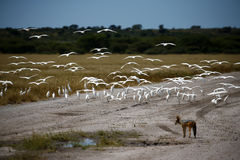 Little Egrets Flying. A flock of Little Egrets flying away from a Black-backed jackal a plains predator Royalty Free Stock Photography