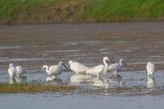 Free Little Egrets In Breeding Plumage Stock Photos - 115029803