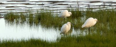 Little Egrets at lakeside Stock Photo