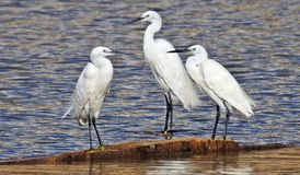 Free Little Egrets On Waters Edge Royalty Free Stock Photo - 147200635