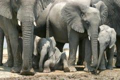 Little elephant. In Etosha national park, Namibia Royalty Free Stock Photo