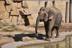 Little elephant in Prague ZOO Stock Photography