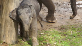 The little elephant baby goes around the tree stock video footage