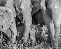 Little elephant baby with mother in black and white. Beautiful little baby elephant with mother royalty free stock photography