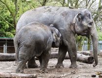 Little Elephant Calf With His Mother. Two elephants in a zoo snuggling and sharing food Stock Image