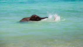 Little elephant calf swims in the sea with the man Stock Image