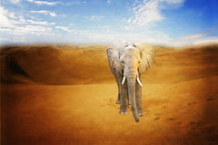 Little elephant in a desert Royalty Free Stock Photography