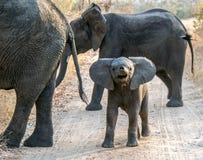 Little elephant. Little elephant showing off Royalty Free Stock Photo
