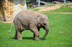 Little elephant walking photo Stock Photo