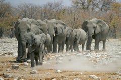 Little elephants leading the herd. Herd of in Etosha national park, Namibia Stock Image