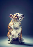 Little English bulldog posing Royalty Free Stock Image