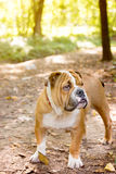 Little English bulldog pup Stock Photography