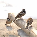 A little Eurasian Tree Sparrow. Three little birds Eurasian tree sparrow standing on a bambou with sun shine on a river blur background Royalty Free Stock Image