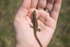 Little european lizard in female hand. Lacerta agilis royalty free stock photo