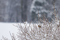 Little european robin in snow covered branches Stock Image