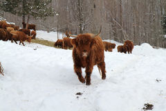 A little exercice. Those Scottish cows are well adapted to winter with their long hair Stock Images