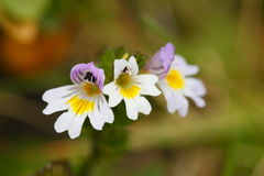 Little eyebright Stock Images