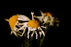 Faded daisy. Little fading daisy flowers close up stock image