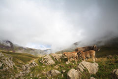 A little family. Two calves with their mother in Echo's Valley, Spanish Pyrenees Royalty Free Stock Image
