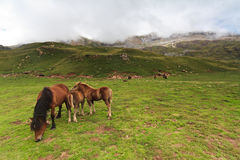 A little family. Two colts with their mother in Echo's Valley, Spanish Pyrenees Stock Image