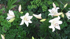 Little family of white lilies Stock Photo