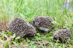 Little family of young hedgehogs Royalty Free Stock Photos
