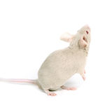 Little fancy mouse Stock Photos