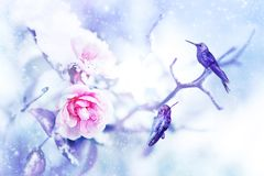 Little fantastic blue birds colibri in the snow and frost on the background of beautiful pink roses. Artistic Christmas winter image. Selective focus. Snowing royalty free stock image