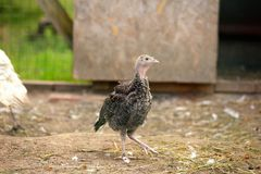 Little farm male turkey outdoor Royalty Free Stock Image