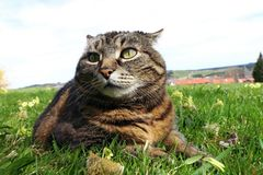 A little fat cat lying in the grass with a funny look.  royalty free stock image
